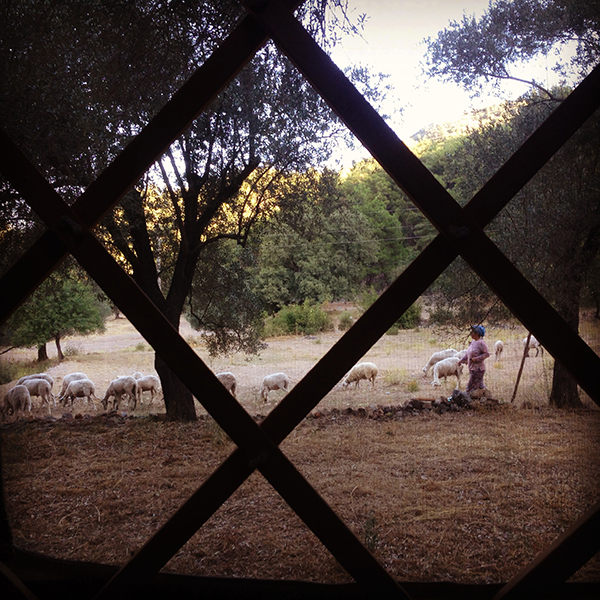Goat herder from my yurt window