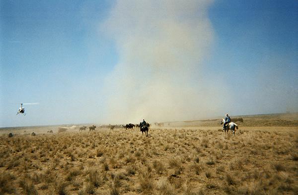 mustering-cattle-australia