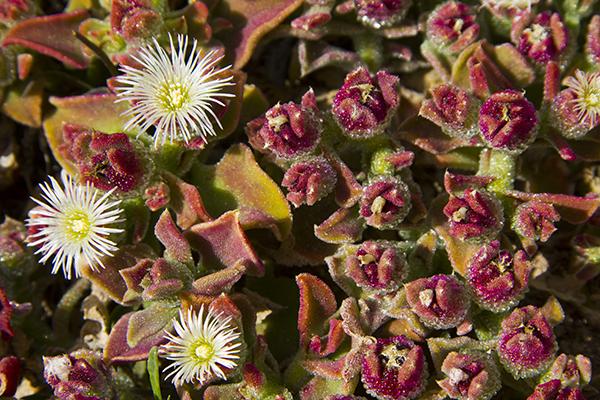 fuerteventura-plants